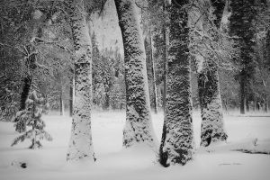 Lorraine Nilsen, Black Oaks, black & white photograph, nature, landscape, snow scene, digital photograph