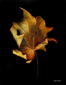 Lorraine Nilsen, Maple Leaf, photo scan, flora, leaves